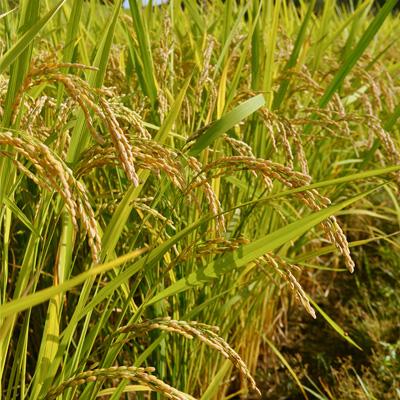 熊本 自然栽培 実取義洋さんのお米「天日掛け干し」