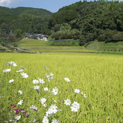 熊本 自然栽培 冨田榮一さんのお米