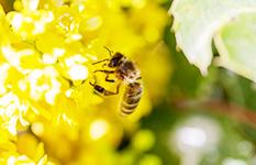 ミツバチが直面している危機と原因について
