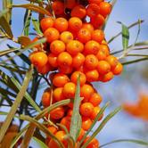ウミクロウメモドキ種子油(サジーオイル)