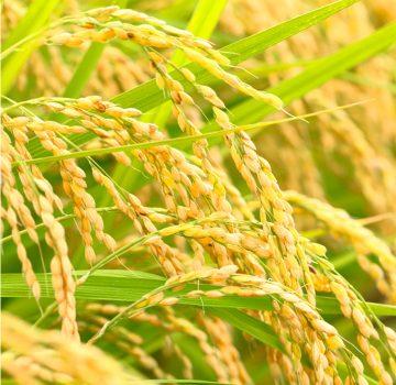 未検査米と自家採種について